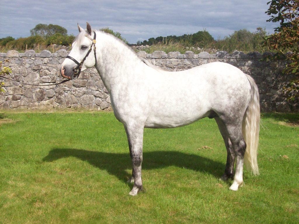 Connemara Stallion Too Much Melody